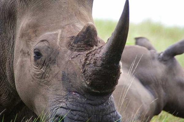 Sừng tê giác